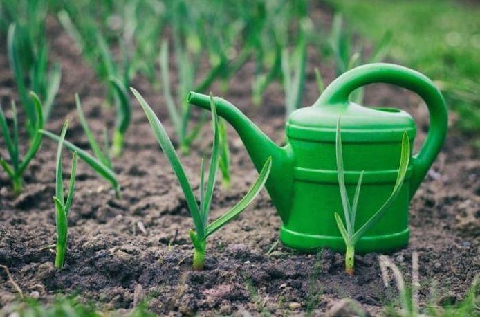 Подкормка чеснока весной