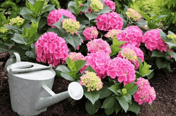 Чем подкормить гортензию весной для пышного цветения