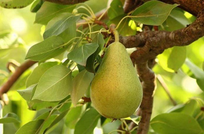 Подкормка груши: какие удобрения нужно использовать для высокого урожая