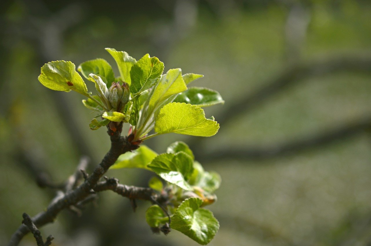 Яблоню, малину, смородину после зимы