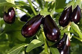 Удобрение для баклажанов и выращивания в теплице