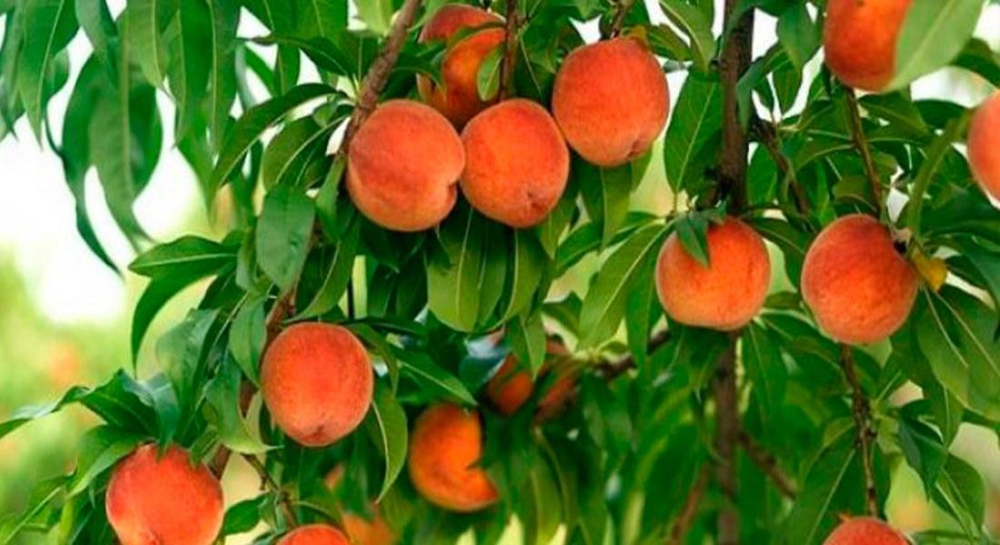 Удобрение персикового дерева